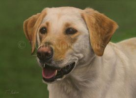 Molly - Yellow Lab portrait. by Canis-Lupess
