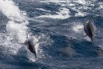 Spinner Dolphins by Ironpaw