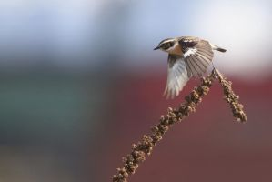 ...whinchat... by Ulliart