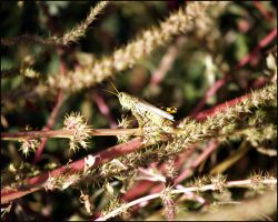 Young Grasshopper by MadejyalookGraphics