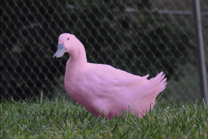 Psychedelic Photoshopped Series - Pink Duck by SamiJae