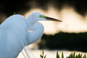 Great egret in the evening by CyclicalCore