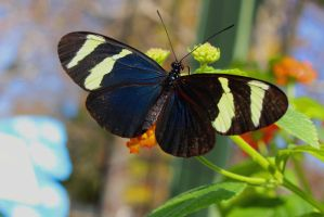 Sara Longwing Butterfly by ParadoxGirl411