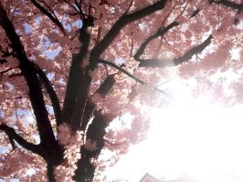 Cherry Blossom 2-2 by this-is-the-life2905