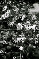 Little White Flowers by Pickles4LES