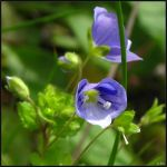 Speedwell Closeup by Coatlique