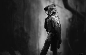 the black parrot by radicszoltan
