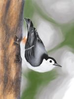 White-Breasted Nuthatch by elddiReMsihT