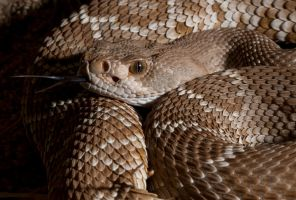 Red Diamond Rattlesnake II by jamezevanz
