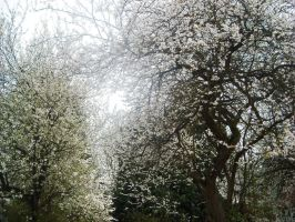 trees of white blossom by loobyloukitty