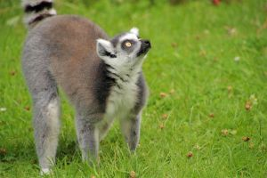 ring-tailed lemur by Quiet-bliss