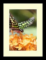 Butterfly Photo 57 by blookz