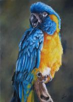 Blue-throated Macaw by Jennyjzlei