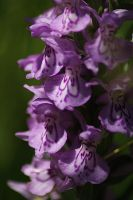 orchis  close by marob0501