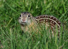 A tiny ground squirrel by masscreation