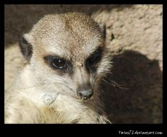 suricate by Twins72