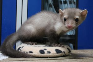 Charly the marten by Tenshi--no--yume