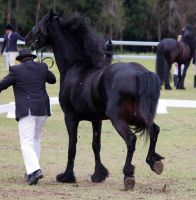 STOCK - Friesian Show 2012-138 by fillyrox