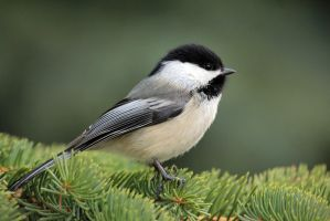 Chickadee on pine by sgt-slaughter