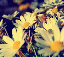Daisies by Raindom