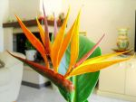 Strelitzia reginae in my living room by cortomaltese219
