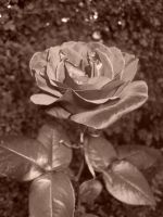 Sepia Rose, with flash by sonic-fire