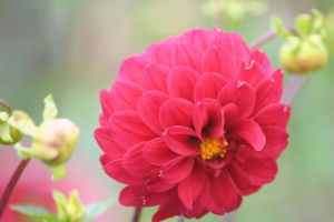 dahlias cologne 8 by ingeline-art