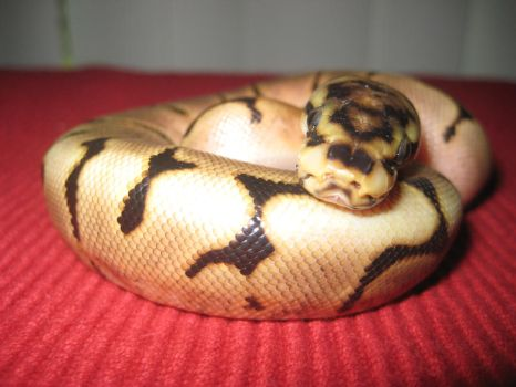 Spider Ball Python Baby 7 by SirenGarg