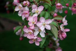 Flowers of the chokecherry tree by MNgreen