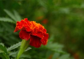 crimson gold marigold by firefox2171