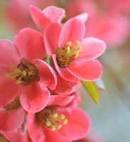 Blossom 2 1 by melrissbrook