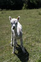 Oh, hello there, says the llama by Wyco
