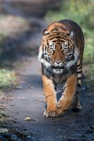 The eye of the tiger, the thrill of the fight! by Seb-Photos
