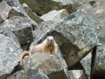 MARMOT IS WATCHING YOU by MarieGoesRawr