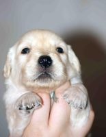 puppy retriver in hand II by Cab-GdL