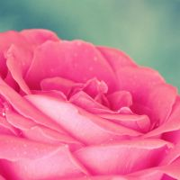 Rose close up II by krylty