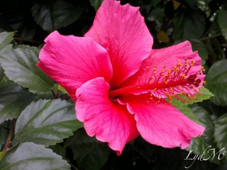 Hibiscus by LydMc