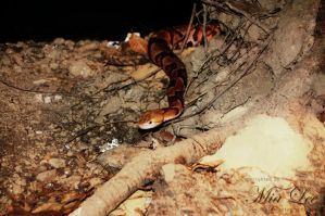 Copperhead 003 by MiaLeePhotography