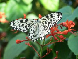 Butterfly 005 by AkaneCeles