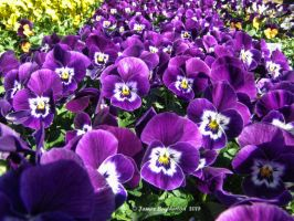Violas by jim88bro