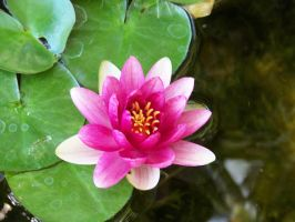 Magenta Water Lily 2 by beckabue