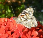 painted lady underwing 2 by larewenevenstar