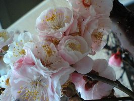 Japanese plum blossom by freyiathelove