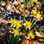 Daffodils by OK-Photography