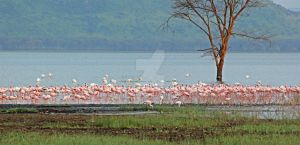 Flamingos at Lake Nakuru by greenjinjo