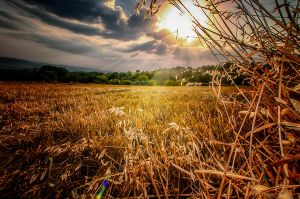 Sun lights over the wheat field by JosivBG