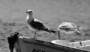 Seagulls by agelisgeo