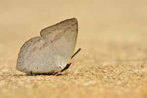 Malayan Sunbeam with ant by inckurei