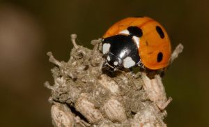 Ladybird by mant01