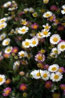 Daisies by fl8us-stock